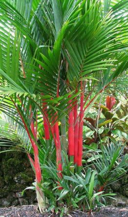 Красная пальма