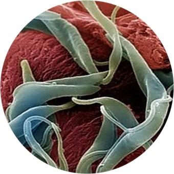 паразиты человека гельминты